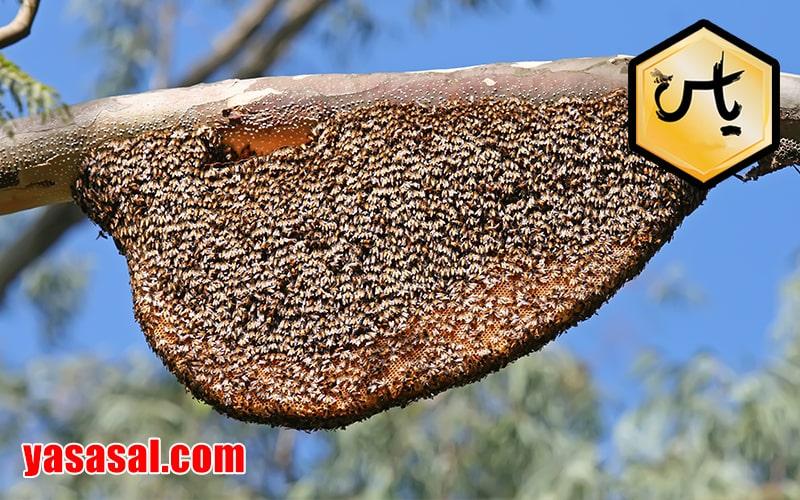 عسل وحشی کنار